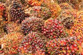 image of biodiesel  - Bunch of oil palm seeds for production cooking oil or biodiesel oil - JPG