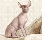 stock photo of mexican-dog  - Portrait of hairless xoloitzcuintle dog on a antique couch - JPG