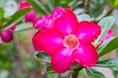 stock photo of desert-rose  - Adenium Obesum or desert rose flowers and leaves - JPG