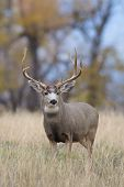 image of mule  - a big mule deer buck standing in a field - JPG