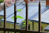 Plant on an old fence