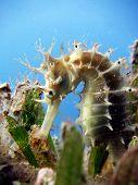 Thorny seahorse portrait