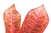 pic of crotons  - Croton plant leaves isolated on a background  - JPG