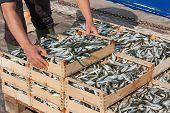 mediterranean sardines