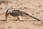 Yellow Billed Hornbill Close Digging For Insects In Dry Kalahari Sand