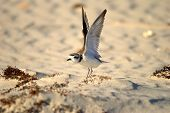 Snowy Plover Wing Stretch