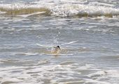 foto of tern  - Common tern making a splash diving for a fish - JPG