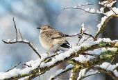 picture of mockingbird  - Northern mockingbird perching a a snow covered branch - JPG