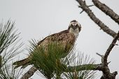 picture of osprey  - Osprey perched in a pine tree glaring at the camera - JPG