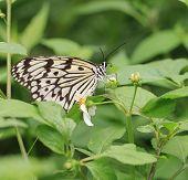 butterfly,Tree Nymphs,Idea ieuconoe