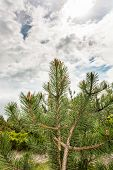 Conifer Tree Under Interesting Clouds