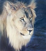 A Male Lion With A Sunlit Mane