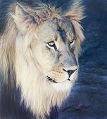 A Male Lion With A Sunlit Mane