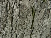 Bark Of An Old Tree With A Green Moss
