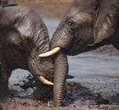 Two Elephants Interacting