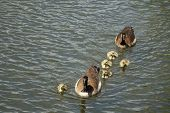 stock photo of baby goose  - A Canadian goose and gander swim with their five goslings in a Boise city park pond - JPG