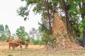 Termite Mound In The Countryside Of Si Sa Ket, Thailand