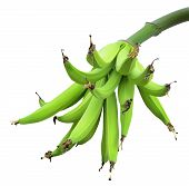 stock photo of banana tree  - Banana bunch on tree isolated on white background - JPG