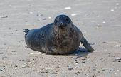 black seal