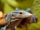 Blue Tree Monitor Lizard