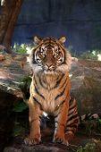 Majestic Sumatran Tiger