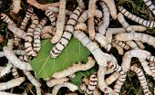 Many silkworms eating mulberry leaves before getting cocoons
