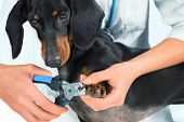 foto of dachshund  - Unrecognizable woman doctor veterinarian is trimming dog dachshund nails