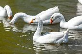 Photo Of Gooses Swimming And Diving On Lake