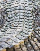 Crocodile Skin