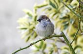 House Sparrow On Cold Day (passer Domesticus)