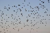 Large flock of birds flying in a blue sky background