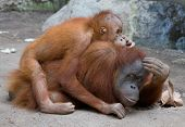 Orang Utan mother with child