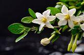 spa concept gardenia flower