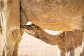 Suckling Camel Calf In Wahiba Oman
