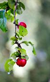 Closeup of red apple tree, selective focus