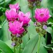 image of curcuma  - Siam Tulip blooming in garden - JPG