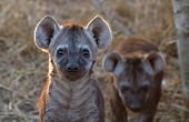 stock photo of hyenas  - Curious Hyena Pup at Kruger National Park South Africa