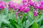 picture of curcuma  - Siam Tulip blooming in garden - JPG