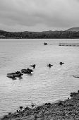 Water Buffalo In A Lake In India In Black And White