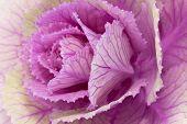 single flower of violet brassica oleracea - close up