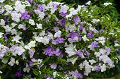 foto of australie  - Brunfelsia Australis  - JPG