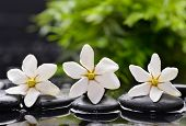 pic of gardenia  - Three gardenia with green plant leaf on wet black pebbles  - JPG