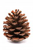 Pine Cone Isolated