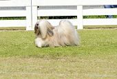 stock photo of long beard  - A profile view of a small young light tan fawn beige gray and white Lhasa Apso dog with a long silky coat running on the grass. The long haired bearded Lasa dog has heavy straight long coat and is a companion dog.