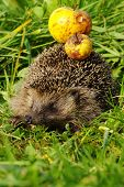 Hedgehog with apple 7