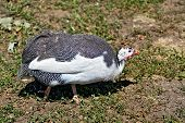 Guinea fowl on the grass