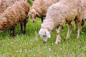 Sheep herd on green meadow