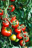 Ripening tomatoes in a greenhouse
