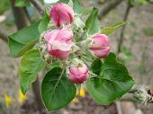 English Bramley Apple Blossom Buds