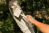 Gardener Whitewashing Tree